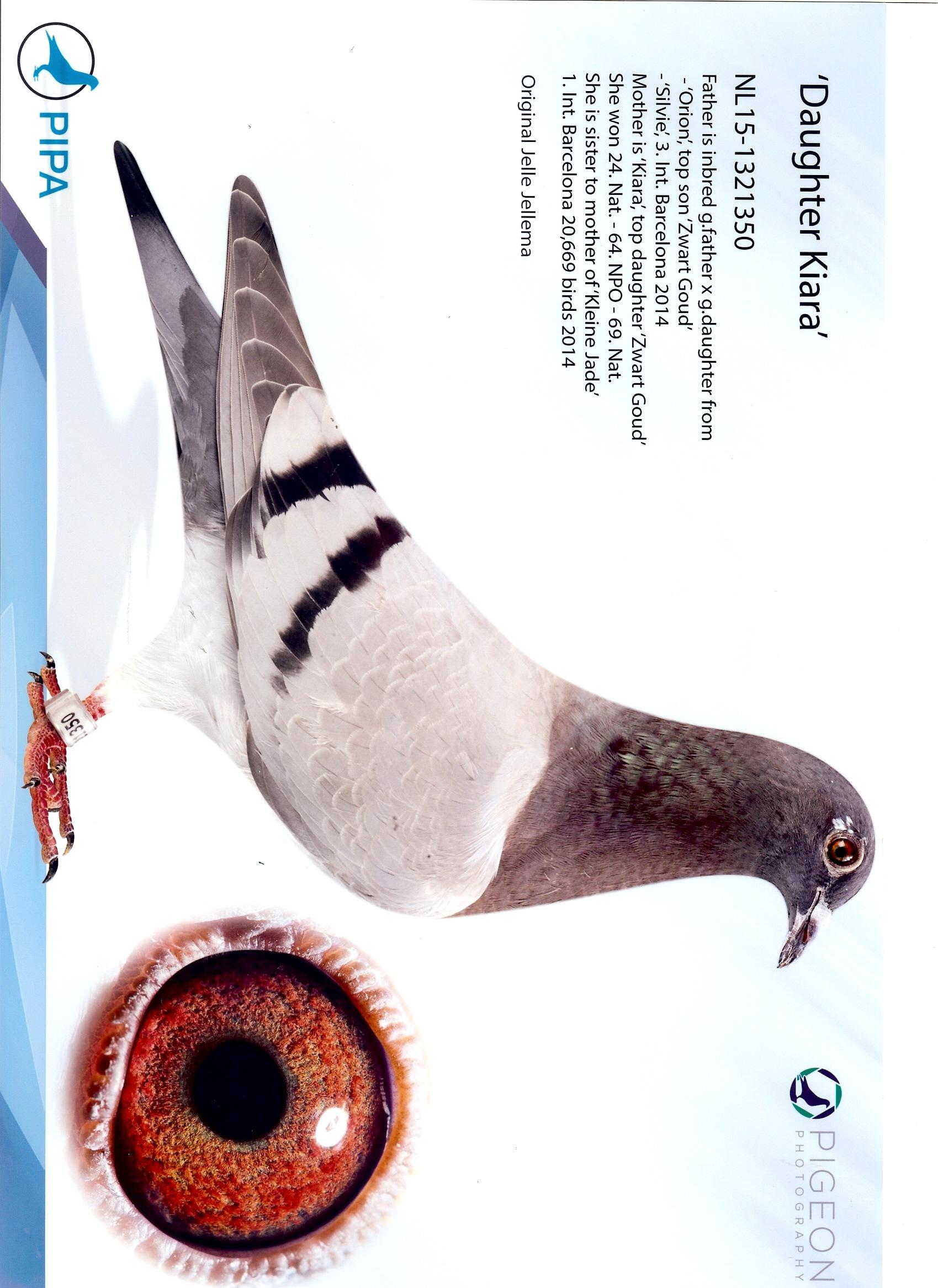 Jellema Pigeon